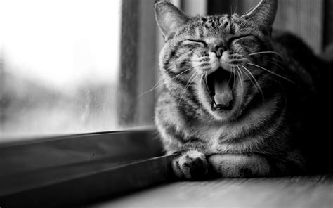 cat animals open mouth monochrome wallpapers hd