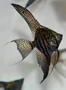 zebra bathroom ideas picture ideasclown angelfish pinterest