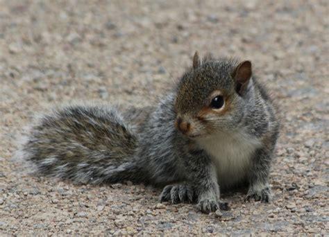 baby squirrels city wildlife