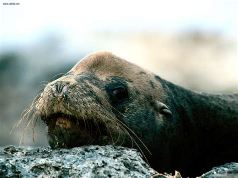 Animals: Bushed Galapagos Sea Lion, picture nr. 19108