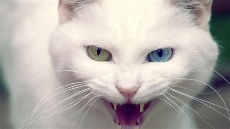 wild white cat wallpapers hd wallpapers