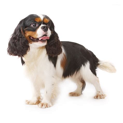 king charles spaniel puppy king charles spaniel see description and pictures of this breed dogsuniverse