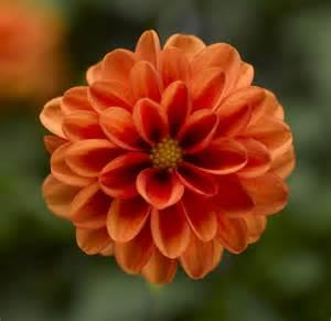 Yellow Flowered Wallpaper - dahlia dahlini orange