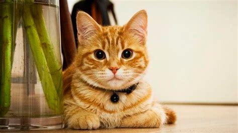gatos en casa la verdadera raz 243 n por la que los gatos vuelven a casa no