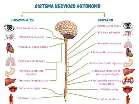 test sistema nervoso 25 melhores ideias de sistema nervoso autonomo no