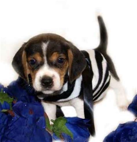 teacup beagle puppies for sale teacup beagles for sale beagle puppy