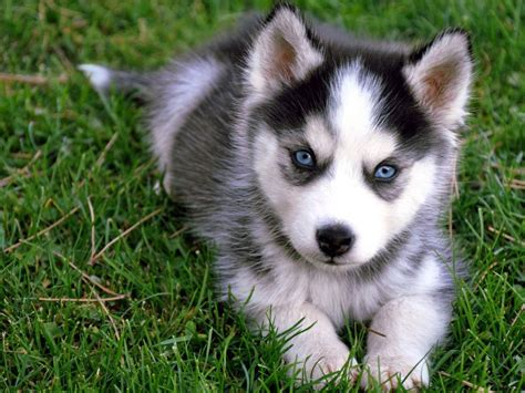 talking husky puppy talking husky puppy or kittens puppies and more