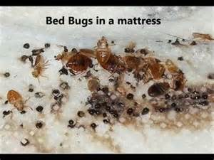 how to tell if you bed bugs what do bed bugs look