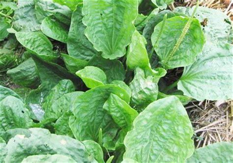 Tanaman Herbal Daun Sendok jenis jenis tanaman obat herbal kandungan manfaat serta