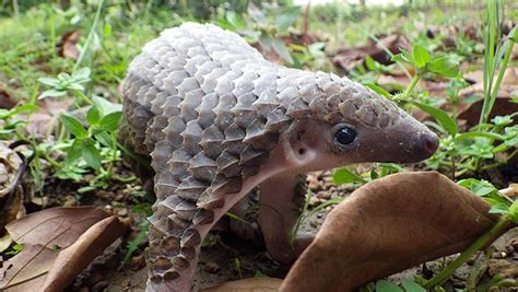baby pangolins  adorable ant eaters baby animal zoo