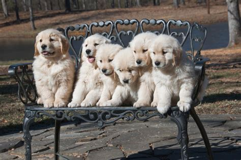 bench dogs for sale texas golden retriever breeder puppies available spring