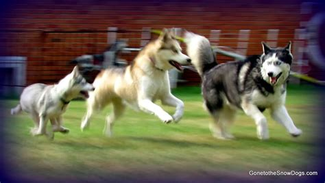 husky coat colors siberian husky puppy coat change color fan friday 112