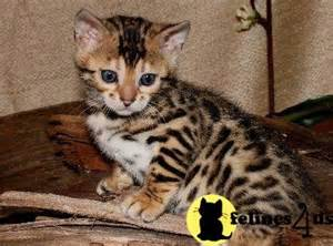 Kittens For Sale Tx Kittens For Sale In
