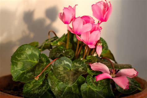 ciclamino coltivazione in vaso ciclamino cyclamen consigli coltivazione e cura