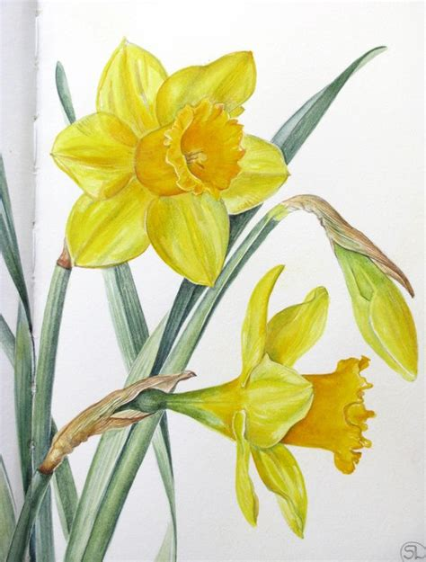 watercolor daffodil tutorial botanical sketches and other stories daffodil days