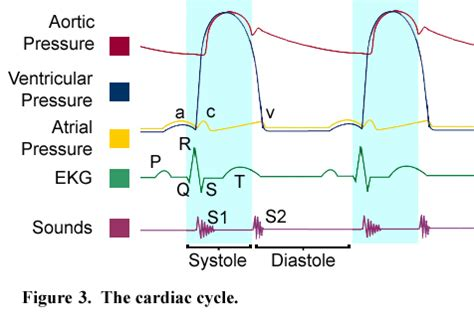 Fisiologi Manusia Sherwood Warna Egc anatomi fisiologi jantung mekanisme siklus jantung