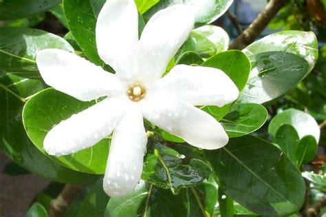 file tiare maori jpg wikimedia commons