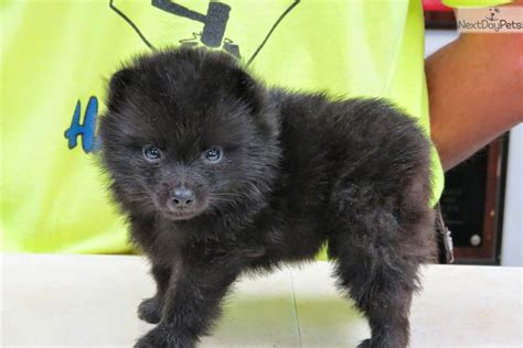 schipperke puppies image gallery schipperke puppies