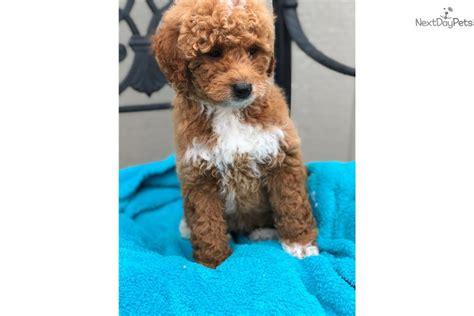 mini goldendoodles dallas mini fianna goldendoodle puppy for sale near dallas
