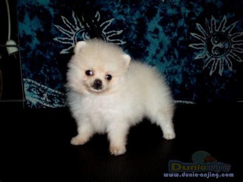 Jual Jual Minipom Jantan Kaskus dunia anjing jual anjing pomeranian jual minipom