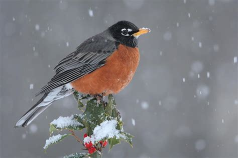 robin bird facts american robin diet behavior habitat