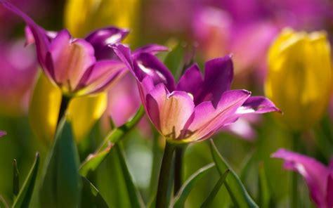 Ransel Tulip 3 In 1 purple tulips wallpaper 1377539