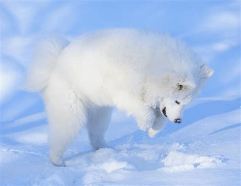 samoyed colors interesting facts about the faithful and loving