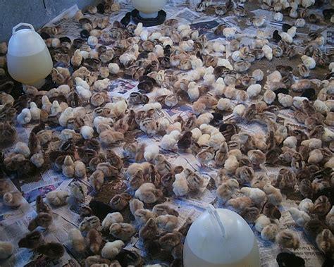 Bibit Ayam Kedu Ternak Ayam Induk Ayam Kung