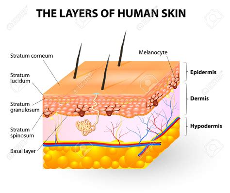 vector clipart of human skin anatomy vector illustration of diagram of human csp18463205 epidermis clipart clipground