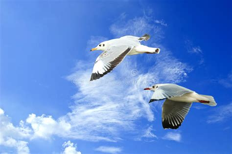 volo gabbiano gabbiano di volo in cielo con le nuvole fotografia stock