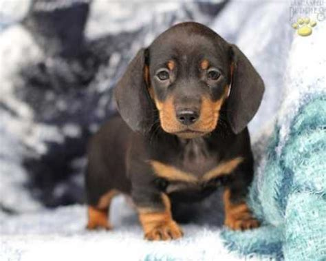 how much are dachshund puppies dachshund puppy so much cuteness doxie pup things