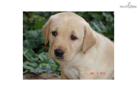 american lab puppies american labrador breeders in southern california