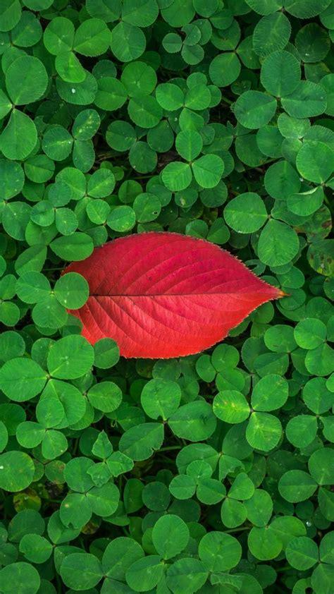 clover leaves plant green wallpaper