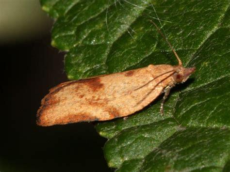 light brown apple moth light brown apple moth naturespot