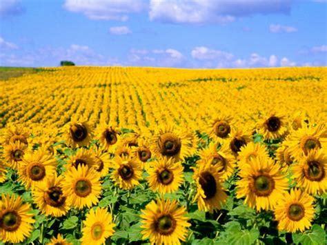 colors of sunflowers colors of sunflowers jamestown dakota usa