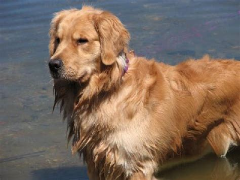 golden retrievers span golden retriever breed information puppies pictures