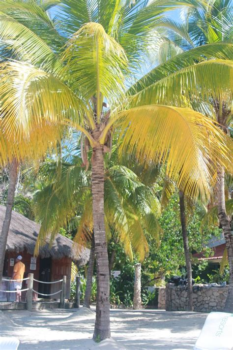 Free All Inclusive Vacation Giveaways - standing tall to protect you from the sun coconut tree