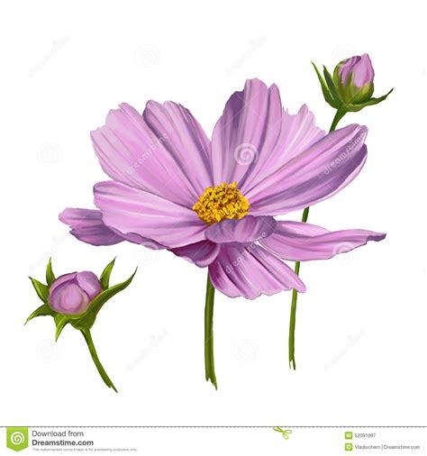 cosmo color cosmos flower vector illustration painted stock vector