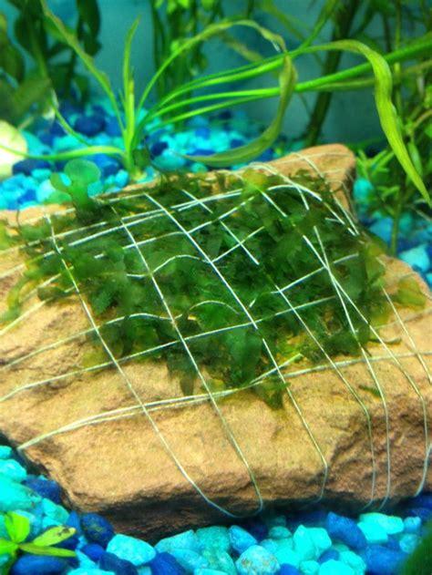 aquarium tropical plants aquarium plants how to how to attach aquarium plants to