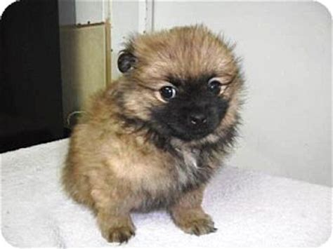 pomeranian lhasa apso mix adopted puppy bartonsville pa pomeranian lhasa apso mix