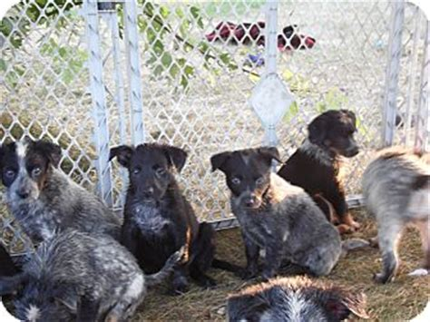 puppies for sale in la crosse wi blue heeler rescue puppies for adoption in la breeds picture