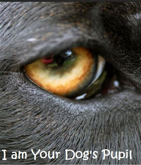 dilated pupils in dogs dilated pupils daily discoveries
