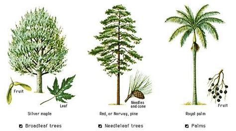 type of tree types of trees with pictures www pixshark com images