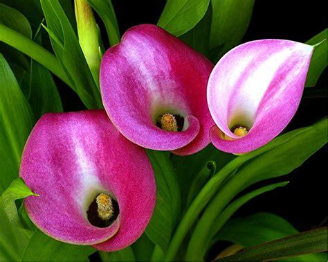 imagenes todo flores calla lily flower availability typesofflower com