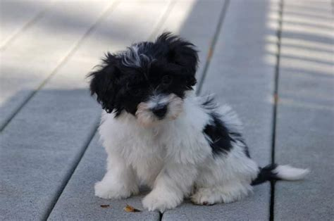havanese weight range dogs that stay small american kennel club presents 20 miniature breeds