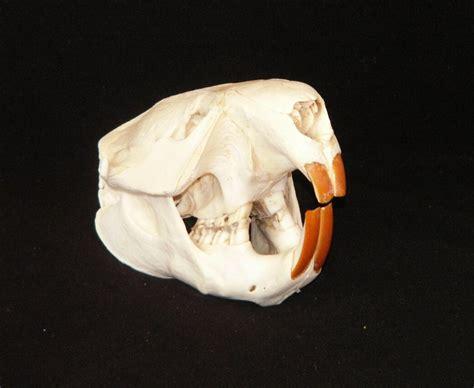 small animal skulls  sale skulls  skins  sale australia