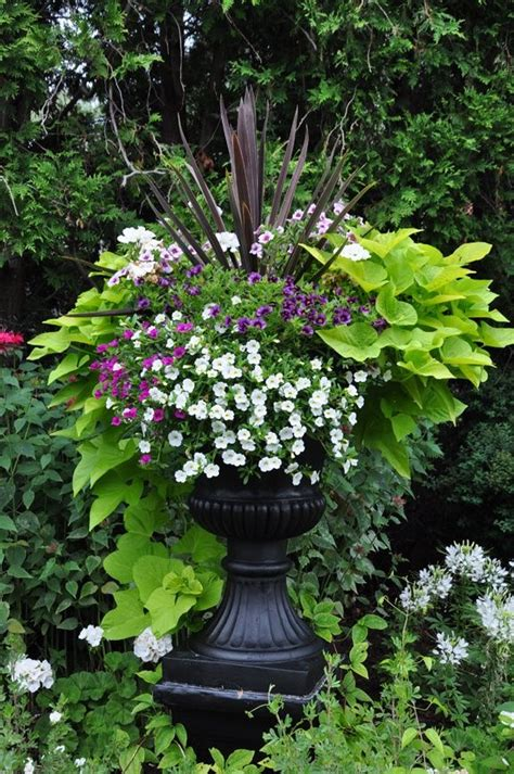traditional garden urns and contemporary containers potato vines sweet potato vines and vines
