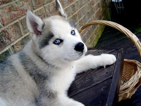 siberian husky in appartamento chiens crois 233 s le berger blanc suisse x husky de sib 233 rie