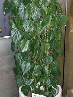 plant id flowers  foliage heartleaf philodendron