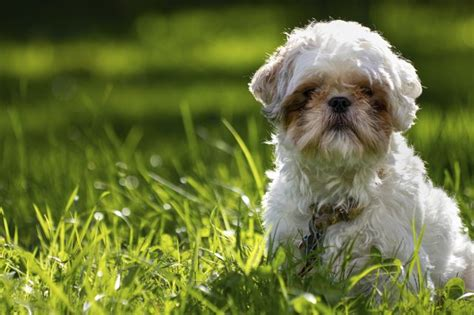 shih tzu age problems fruits vegetables for a shih tzu cuteness
